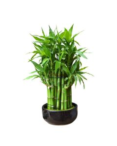 Love & Luck Bamboo Plant