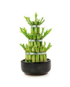 Sprinkle of Prosperity Bamboo Plant