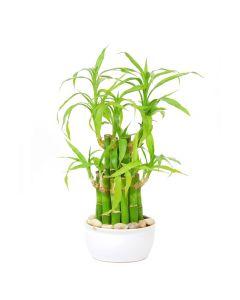 Shine Bright Bamboo Plant